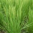 自然農 お米の花咲く頃 9月中旬