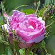バラ 「カトル・セゾン」
