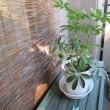 100円ショップの観葉植物がスクスク