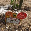 """夏野菜の植え付け """"トマト編"""""""