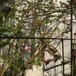 """LA VIE EN ROSE""のバラ達は、復活を始めました"