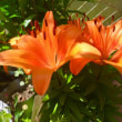 ユリの花が最盛期