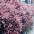 高田公園の観桜会が始まったけれど・・