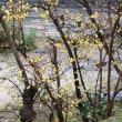 春の香り~ロウバイ