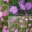 ジプシーディープローズの花は