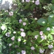 紫陽花いろいろ・・