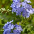 庭のお花達 ヘデリフォリウム他
