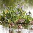 ミズアオイの花とオグロシギ