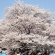国営昭和記念公園を桜見ハイキング
