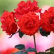 京都府立園のバラ
