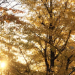 公園の夕暮れに光る『銀杏(イチョウ)』♪〜2017/12月