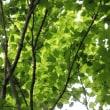 新緑の清々しさ‥② 【ひで某】
