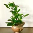 ニゲラの種袋、アカシアの葉そしてまたレモンの葉