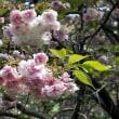 長崎のサクラ咲く