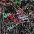 初見のアオバトと冬鳥も来た