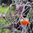 富有柿を啄むツグミの表情