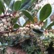 寒いのによく咲いている、ヒメツルソバです