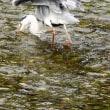 『花水川の野鳥』 アオサギ