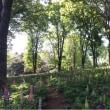 木漏れ日がある   ルピナスのお花畑