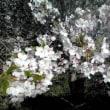 Leaf cherry blossoms