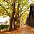 山居倉庫のケヤキ並木、