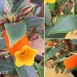 シーマニアの花は