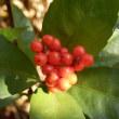 庭の赤い実3種(千両、万両、万年青)