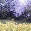 桜が咲きました【2】