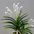 富貴蘭 海皇丸変りの花