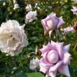 初冬の薔薇園
