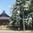 小千谷のお寺の白藤