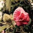 芙蓉が咲いているのを車中から見かける