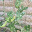 玄関先のミニ野菜畑