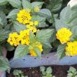 ランタナ Lantana 黄花