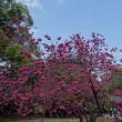 「寒緋桜」/清澄庭園