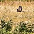 今日の野鳥  チョウケンボウ ・ ノスリ