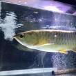 紅尾金龍 約40cm