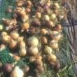 玉ねぎの収穫!