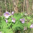 シラネアオイの花が咲く季節です