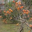 フェンスに守られて柿が実っている