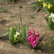 春の花が咲きだしました さくらの花だよりのなかあすは雪が?との予報です