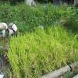 【今年は庭で稲作】 / ☆稲刈り☆ 種もみ下ろしから183日目(2019用種もみ作り)