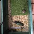 亀飼育観察記録 クサガメ