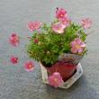庭の草花(オキザリス)
