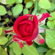 この春1番に咲いた薔薇❤︎