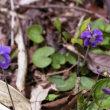 ニオイタチツボスミレ(晩春の路傍を彩る小さな花達)
