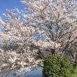 桜に似てる人