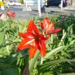 「おはようの花」 アマリリス 5月