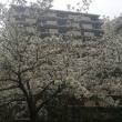 雨が降る前に満開の大島桜を撮影