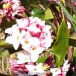 今年は花の咲くのが2週間遅れで咲きました。